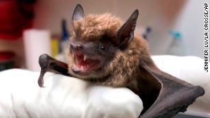 190612131256-02-rabies-bats-cdc-medium-plus-169.jpg